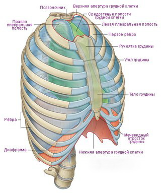 грудной клетки фото